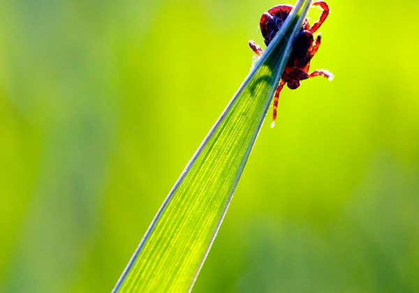 tick waiting victim on blade of grass